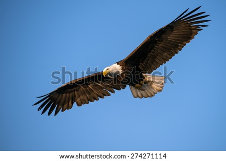 american bald eagle in flight with wing spread against blue alaska sky, taken from low angle - stock photo