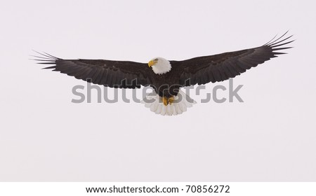American Bald Eagle in flight with wings spread wide with blue sky background - stock photo