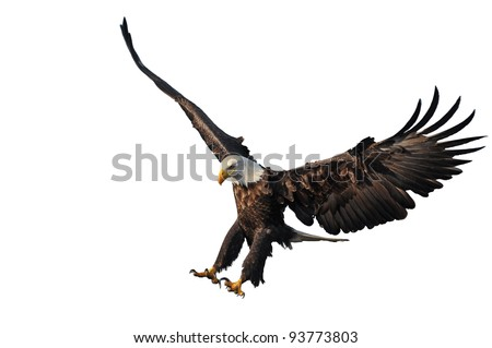american bald eagle landing, isolated on white background, with nice light and detail - stock photo
