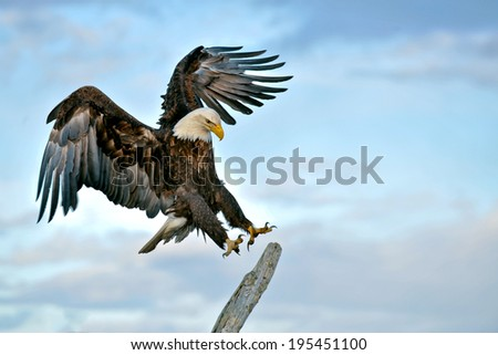 american bald eagle landing on perch during alaskan sunset
