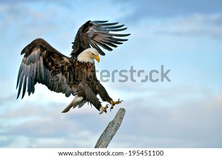 american bald eagle landing on perch during alaskan sunset - stock photo