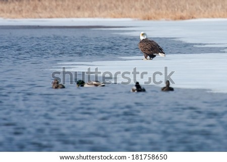 American Bald Eagle looking for food on an icy lake - stock photo