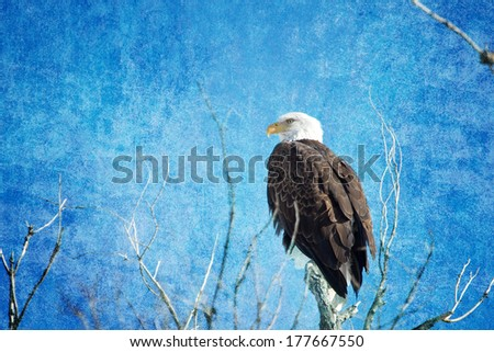 American Bald Eagle on a blue textured background. Composite image.  - stock photo