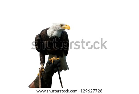 American bald eagle on the hand of a falconer isolated on white - stock photo