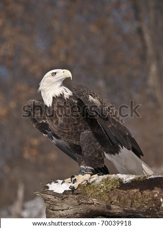 American Bald Eagle perched on a snow covered log. He is a resident at a bird of prey rehabilitation center and is unable to be released to the wild. - stock photo