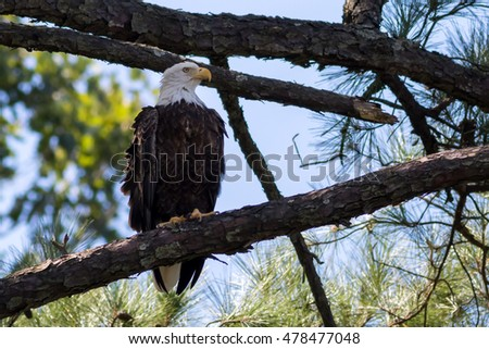 American Bald Eagle perched on tall pine