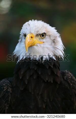 american bald eagle portrait young male - stock photo