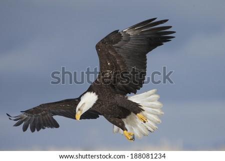 American Bald Eagle soaring - stock photo
