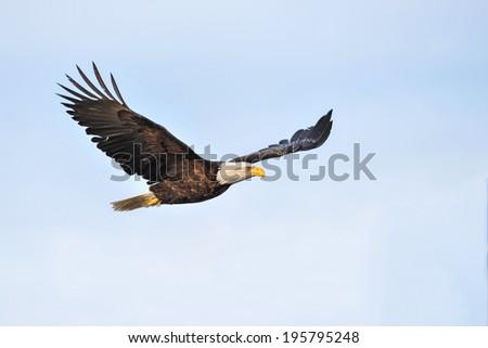 american bald eagle soaring against hazy blue winter alaskan sky - stock photo