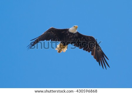 American Bald Eagle soaring in a blue sky - stock photo