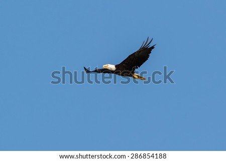 American Bald Eagle soaring in the blue sky - stock photo