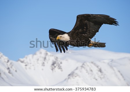 american bald eagle soaring over alaska and looking into camera lens