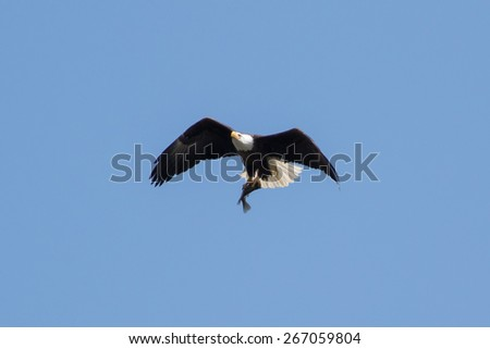 American Bald Eagle soaring with a fish in it's claws