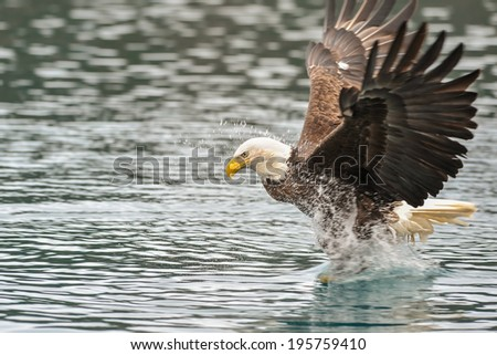 american bald eagle splashing while snatching a fish from alaskan waters - stock photo