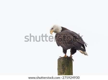 american bald eagle standing on a Power Pole  - stock photo