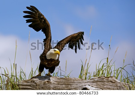 american bald eagle takes flight from perch on log in lake clark national park, alaska, with blue sky background - stock photo