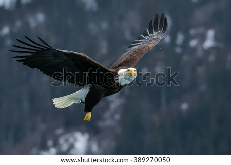 american bald eagle turning in flight against forested alaskan mountainside