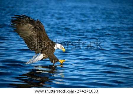 american bald eagle with talons extended to grab fish in alaskan waters
