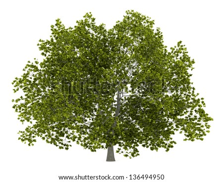 american beech tree isolated on white background
