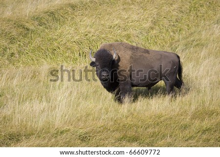 American Bison approaches watering hole in Yellowstone - stock photo