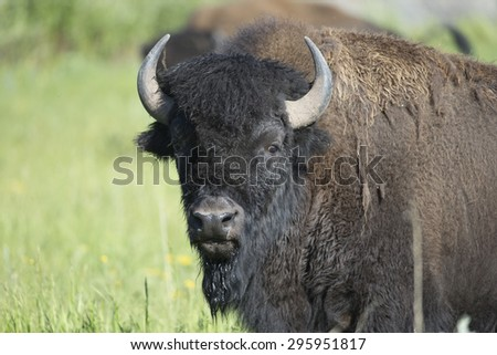 American Bison at Yellowstone National Park