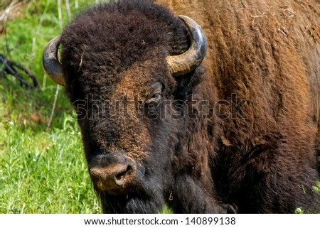 American Bison (Bison bison), also Known as American Buffalo, being raised in Oklahoma. - stock photo