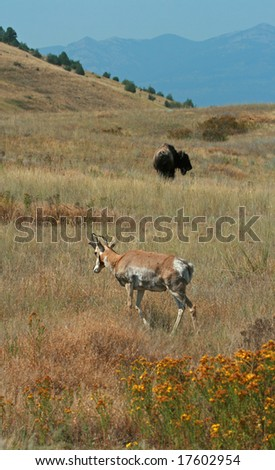 American bison (Bison bison) and pronghorn antelope (Antilocapra americana), National Bison Range, Montana - stock photo