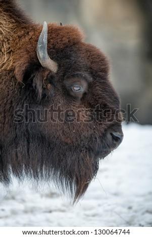 American bison (Bison bison) closeup portrait - stock photo