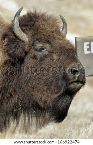 American Bison, Bison bison,female scratching, Yellowstone NP - stock photo