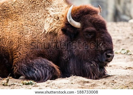 American Bison (Bison Bison) or Buffalo  - stock photo