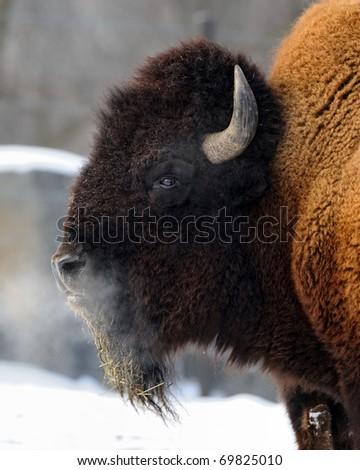 American bison (Bison bison) profile - stock photo