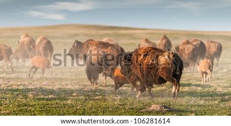 American Bison (Bison bison) Stampede - herd of American Bison run away causing dust cloud - stock photo