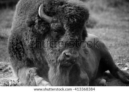 American Bison buffalo black and white