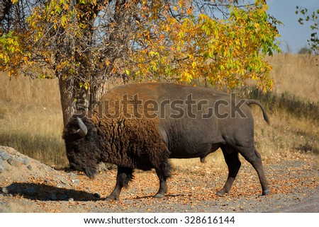 American Bison Buffalo in Autumn on a Wildlife Preserve - stock photo