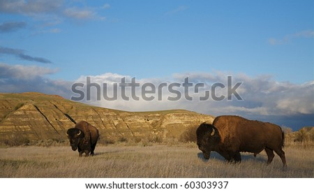 American Bison buffalo in prairie habitat in the mid western states of Nebraska, South and North Dakotas, Colorado, Wyoming, and Montana - stock photo