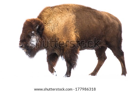 American bison (buffalo) isolated on white snow background - stock photo