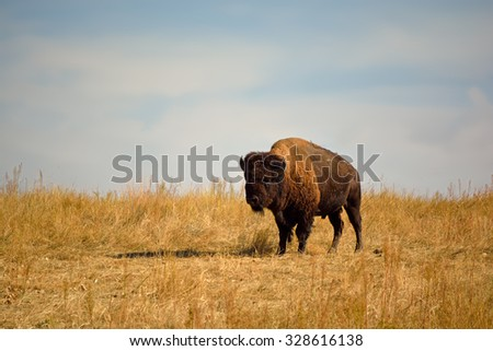 American Bison Buffalo on an Urban Wildlife Preserve - stock photo