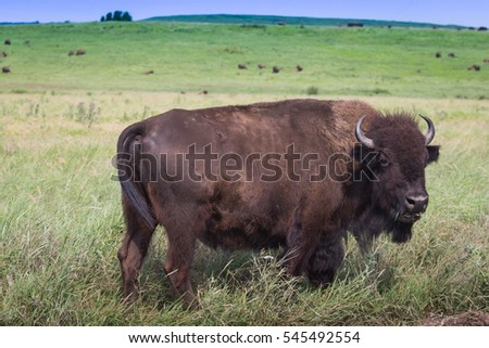 American bison, buffalo, standing in tall grass prairie of oklahoma