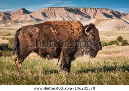 American Bison Bull (Bison bison) in Badlands of South Dakota - wild facing right - stock photo
