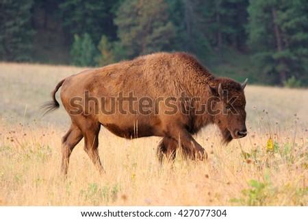 American Bison calf - stock photo