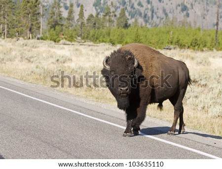 American Bison crossing the road in Yelowstone National Park - stock photo