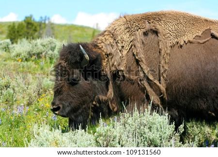 American bison female closeup - stock photo