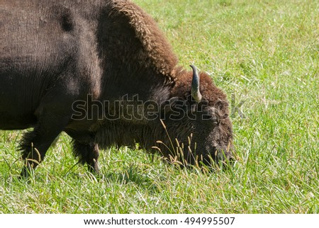 American bison grazing in a lush pasture.