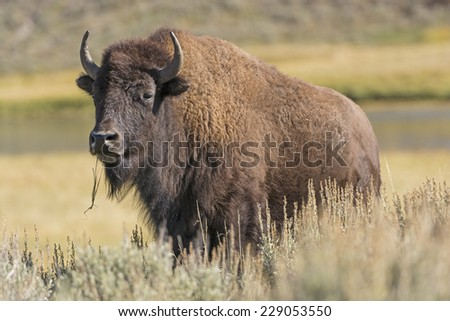 American Bison in Hayden Valley in Yellowstone National Park - stock photo