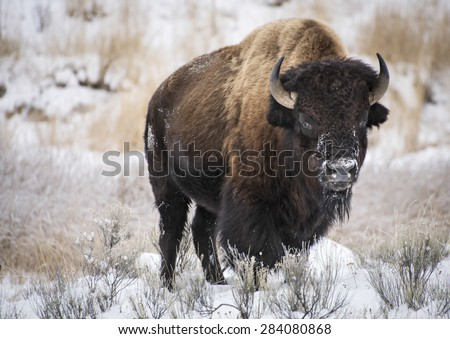 American bison in winter - stock photo