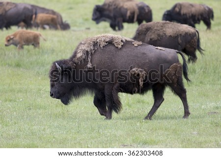 American Bison in Yellowstone National Park - stock photo