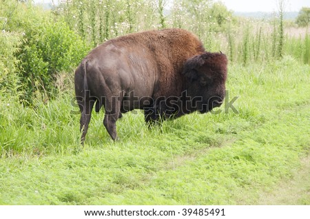 American Bison looking at other Bison in Paynes Prairie Preserve, Florida. - stock photo