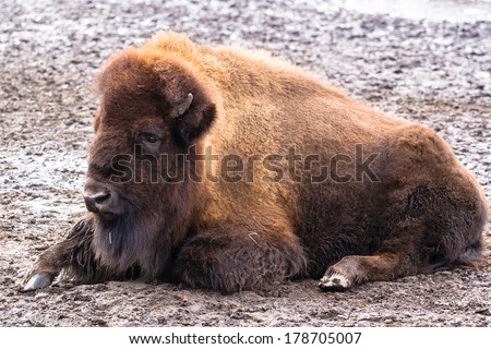 American bison lying peacefully on the ground