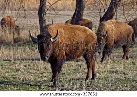 American Bison on Antelope Island, Utah - stock photo