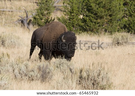 American Bison on the move in Yellowstone National Park - stock photo